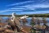 vautour-2-20110202 (jlouphierro) Tags: vautourroyal oiseauvautourroyal