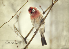 Turning Heads (Denise @ New Mercies I See) Tags: winter ohio home nature birds animals outdoors feathers textures finch processing local housefinch summitcounty outmywindow visionblur mogadore nikond90 kimklassen onethousandgifts beyondlayers