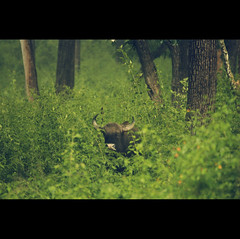 The Beast in the Bush (VinothChandar) Tags: pictures trees wild india green nature look leaves forest canon photography photo bush buffalo woods photos pics wildlife indian tiger picture reserve hidden beast peep hiding wilderbeast wilder tamilnadu gaur mudumalai mudhumalai highqualityanimals