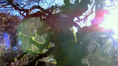 the magic tree... (sazzy) Tags: tree filoli magictree camperdownelm ilovethistree
