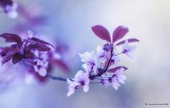 .... (josechino2424) Tags: flores color luces dc rojo nikon desenfoque f2 135mm d300 morados josechino2424 marzorama