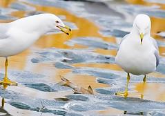 Hen-pecked Husband (Jeff Brough) Tags: seagulls spring gull gulls idaho marsh ringbilled jeffbrough