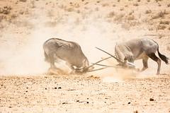 Gemsbok dual sequence #6 (mike cilliers) Tags: africa southafrica fight horns clash dual kalahari oryx gemsbok kgalagadi