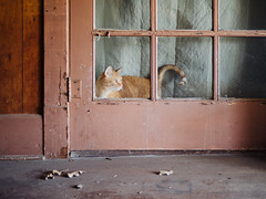 Hickory St. Tabby (BurlapZack) Tags: door portrait orange window cat hall availablelight candid tabby watch kitty hallway whiskers doorway handheld meow pack01 notmycat dentontx hickoryst panasonicleicadgsummilux25mmf14 vscofilm olympusomdem5markii