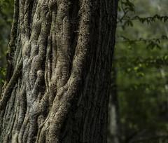 Ivy and Bark Sherrards Wood - April2016 (GOR44Photographic@Gmail.com) Tags: wood trees tree green woods ivy bark fujifilm wgc 35mmf14 xpro1 sherrards gor44