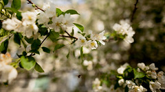 Apple Tree (Annenkov.Art) Tags: white apple nature beauty closeup day blossom head softness twig bloom botany freshness blooming tranquillity fragility