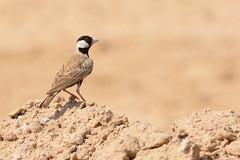 Black-crowned Sparrow-lark @ Al Qudra, Dubai, UAE (Ma3eN) Tags: blackcrowned sparrowlark qudra lakes dubai desert uae 2016