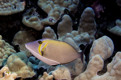 trigger fish (b.campbell65) Tags: ocean travel blue sea wild fish seascape nature water beautiful animal coral swim island hawaii marine colorful underwater pacific wildlife dive scuba diving tropical reef kona isolated triggerfish reeffish coralheads