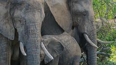 Suedafrika-29 (Lukas P Schmidt) Tags: elephant nationalpark krugerpark