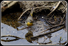 Grey Wagtail 030516.1 (trevorcridlan) Tags: nature water birds countryside nikon outdoor wildlife oxfordshire songbird wagtail thame wildbirds d5200 greywagtails tamron16300
