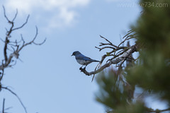 """Mountain Bluebird • <a style=""""font-size:0.8em;"""" href=""""http://www.flickr.com/photos/63501323@N07/26842848322/"""" target=""""_blank"""">View on Flickr</a>"""