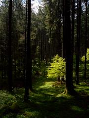 Un piccolo raggio di sole (carlo.goweather) Tags: sun nature ray albero foresta cansiglio raggiodisole wikofever