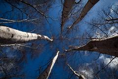 A white explosion (BribbroPhoto) Tags: sky tree nature clouds italia nuvole natura it cielo birch albero lazio betulla manziana caldara canonef1635mmf4lisusm canoneos6d