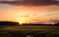 Field of gold (OsDreams) Tags: trees sunset sky sun sunlight field clouds landscape photography photo colorful photoart fieldofgold