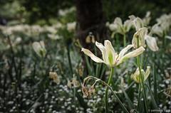 tulipes (Patrice Dx) Tags: fleur jardin tulipes mlancolie proxiphoto sigma1835art