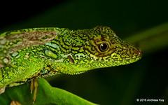 Anolis aequatorialis (Ecuador Megadiverso) Tags: ecuador reptile lizard mindo anolisaequatorialis dactyloidae