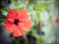 (David Panevin) Tags: street red plants flower japan bokeh olympus  osaka kansai omd tennoji em1 urbanfragments bokehlicious davidpanevin leicadgsummilux25mmf14asph