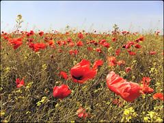 "Poppy field in the Romanian Plain, also known in its Eastern part as ""Brgan"" (cod_gabriel) Tags: ian mac poppy thin poppyfield baragan brgan cmpiaromn romanianplain pixlromatic photogramio cmpdemac"