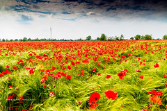 MA SON MILLE PAPAVERI ROSSI:-)) (Roberto.mac.) Tags: landscapes colore campagna rosso papere mille alti papaverirossi robertomac