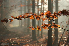 Colours in the mist (**Roel**) Tags: autumn trees red mist nature leaves fog forest canon colours bokeh zeewolde greatphotographers 550d mygearandme mygearandmepremium mygearandmebronze mygearandmesilver mygearandmegold mygearandmeplatinum mygearandmediamond