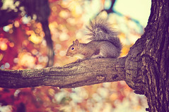 Squirrel!!! (pixelmama) Tags: park autumn tree fall animal forest illinois squirrel bokeh batavia gettyimages hcs clichsaturday fabyaneastwindmillforestpreserve