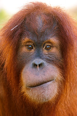 Young orang-utan with tilted mouth