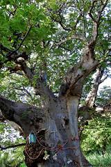 Tree altar on Santiago island (4) (Manurèva) Tags: santiago tree altar arbre baobab autel capeverde ribeiragrande adansonia adansoniadigitata cicadevelha
