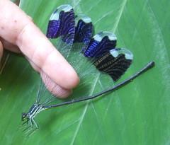 female Megaloprepus caerulatus (Stylurus) Tags: female insect bonito honduras lodge helicopter pico damselfly odonata megaloprepus caerulatus