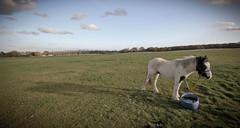 Horse (thunderbirdphotography) Tags: horse canon countryside bucket sigma pony harlow common 1020 essex 600d latton