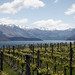 Vineyard at Wanaka