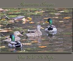 You Will Be Safe... Explored! (Aquamarine Images) Tags: november fallleaves fall nature lakes ducks cannon naturalhabitat conservationareas mallardducks handheldphotos aquamarineimages