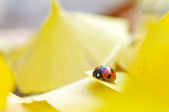 Lady In The Yellow (comolebi*) Tags: macro nature yellow bug pentax bokeh ladybird ladybug  ginkgobiloba  coccinellidae    coccinellaseptempunctata