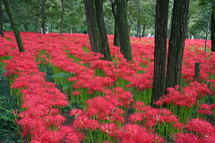 Kinchakuda Park in October (Muchan5) Tags: flowers autumn red plant nature colors japan garden landscape flora nikon hana saitama lycoris kinchakuda kinchakudapark mygearandme mygearandmepremium mygearandmebronze mygearandmesilver mygearandmegold mygearandmeplatinum mygearandmediamond nikonp300