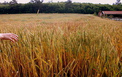 Wheat fields (nceptioning) Tags: summer sun sunlight field yellow hand wheat wheatfields buday budaytarlas