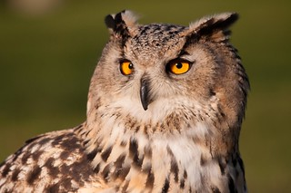 Raptor Foundation: European Eagle Owl