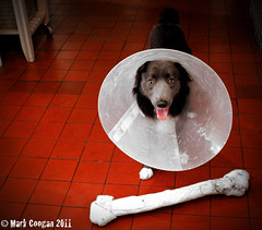 'Fitting square pegs into round holes' (Ugot2funk!) Tags: dog dogs collie border humour bone alfie