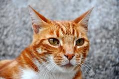 (Marco Zuffada) Tags: cats nature animal cat chat natura felino gatto gatti animale micio