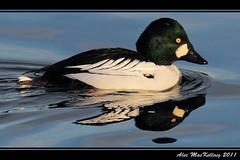 Goldeneye Duck (AMKs_Photos) Tags: bird nature birds animal canon river photography eos scotland duck wildlife aberdeen 7d dee goldeneye amk bucephala clangula amksphotos