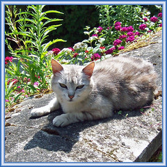 A cat I saw on a holiday in France june 2006 (Cajaflez) Tags: flowers pet france fleurs cat gris kat chat katze frankrijk gatto bloemen grijs greay kissablekat bestofcats 100commentgroup saariysqualitypictures mygearandme bbng