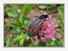 Vijfvlek-Sint-Jansvlinder op klaver ( Annieta ) Tags: camping holiday nature juni canon bug germany in