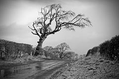 Cunninghame tree (velton) Tags: uk winter snow cold tree canon lumix scotland countryside 300d panasonic windswept gb ayrshire fz18 velton torranyard fz200