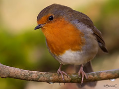 Robin Red Breast (StevieC-Photography) Tags: uk red bird robin horizontal closeup outdoors photography scotland day branch wildlife nopeople animalsinthewild perching oneanimal animalthemes colourimage focusonforeground steviec