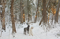 'Tess and Nina' (Canadapt) Tags: winter snow dogs pine forest poplar trail cedar poodle birch keefer standardpoodle canadapt tessandnina