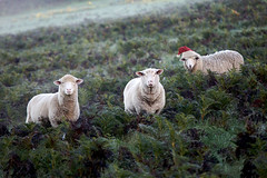 I saw three sheeps come sailing in ... (thescatteredimage) Tags: santa christmas xmas sheep santahat summersolstice seasonsgreetings 2011 festiveseason