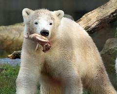 Beer, IJsbeer, jong, Ouwehands IMG_2251 (j.a.kok) Tags: beer ijsbeer baer ouwehands polarbaer ouwehandszoo netherlandszoo