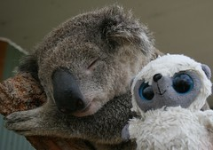 As usual Bubble gets on well with the locals.... (famkefonz) Tags: sydney australia koala bubble newsouthwales marsupial