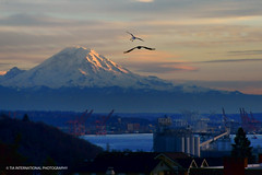 Reign of Rainier (TIA International Photography) Tags: seattle winter sunset shadow sky urban terrain sunlight mountain bird silhouette port tia landscape volcano bay harbor washington december factory mt natural pacific northwest harbour crane dusk seagull horizon peak mount rainier sound summit range cascade elliott puget tosin arasi visipix tiascapes tiainternationalphotography