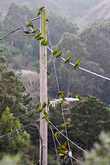 wild brisbane parakeets (hep) Tags: california red wild green bird birds cherry head birding brisbane parakeet parrots parakeets cherryheadedconure wildparrots conures brisbanecalifornia wildconures brisbaneparrots