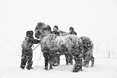 Farmers gathering horses in a snowstorm, south Iceland (skarpi - www.skarpi.is) Tags: winter horses people horse white snow storm man black ice island ice