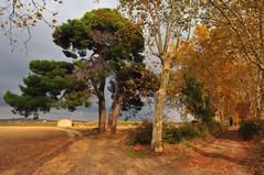 Soir d'automne. (teocaramel) Tags: automne pin paysage soir environs chemin orage narbonne feuille platane capestang